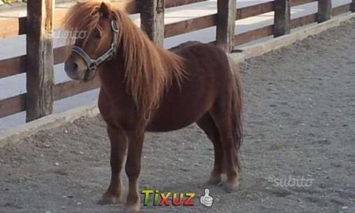 PONY MASCHIO (Shetland pony)