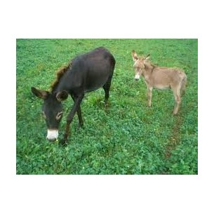 ASINI PICCOLA TAGLIA (Equus...