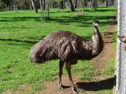 EMU' ADULTO (Dromaius...